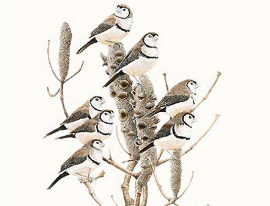 double bar finches bird art by bird artist Peta Boyce
