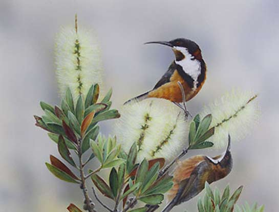 eastern spinebills bird art by bird artist Peta Boyce