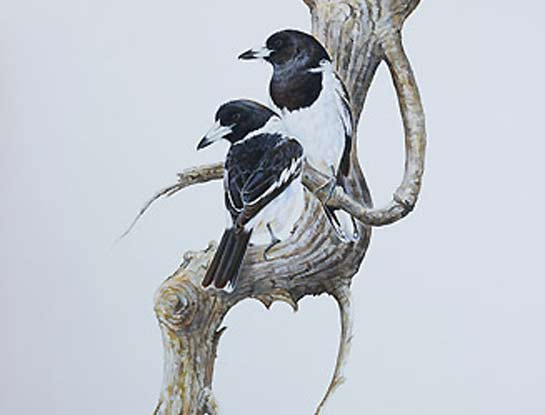 pied butcherbirds bird art by bird artist Peta Boyce