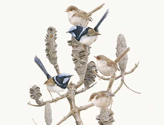 superb wrens bird art by bird artist Peta Boyce