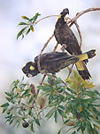 yellow tailed black cockatoos bird art by artist Peta Boyce