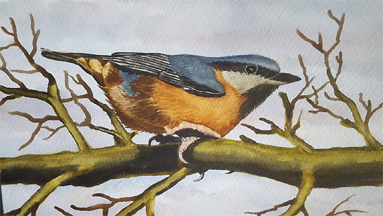Nuthatch by Bird Artist Craig Daniel