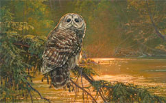 barred owl bird art by artist Kim Diment