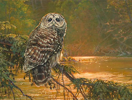 barred owl bird art by bird artist Kim Diment