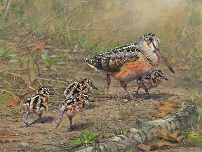 woodcock bird art by artist Kim Diment