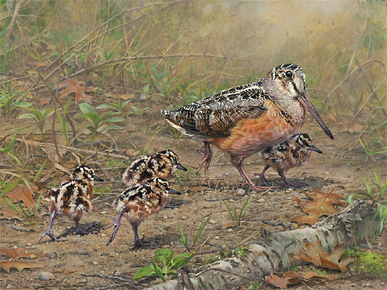 American Woodcock Bird Painting by Bird Artist Kim Diment
