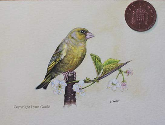 greenfinch art by artist Lynn Gould