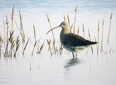 curlew Bird Art by Chris Lodge
