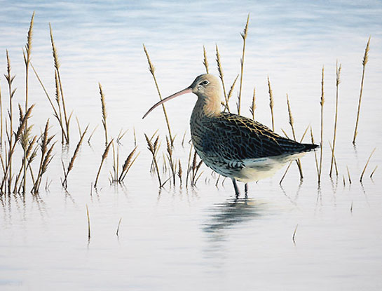 curlew Bird painting by Chris Lodge