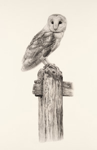 barn owl june by bird artist Jonathan Pointer